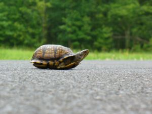 Turtle Crossing the Road.jpg