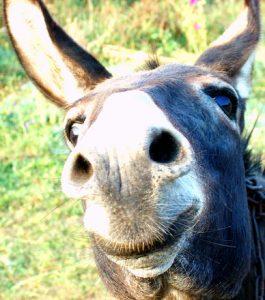 Donkey-close-up-Charlotte-Injury-Lawyer-265x300