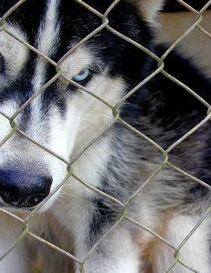 Dog-at-fence-Monroe-Lake-Norman-Charlotte-Dog-Bite-Lawyers-232x300