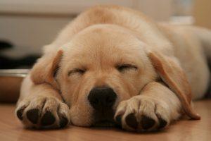 puppy-Charlotte-Mooresville-Monroe-Dog-Bite-Lawyer-300x200